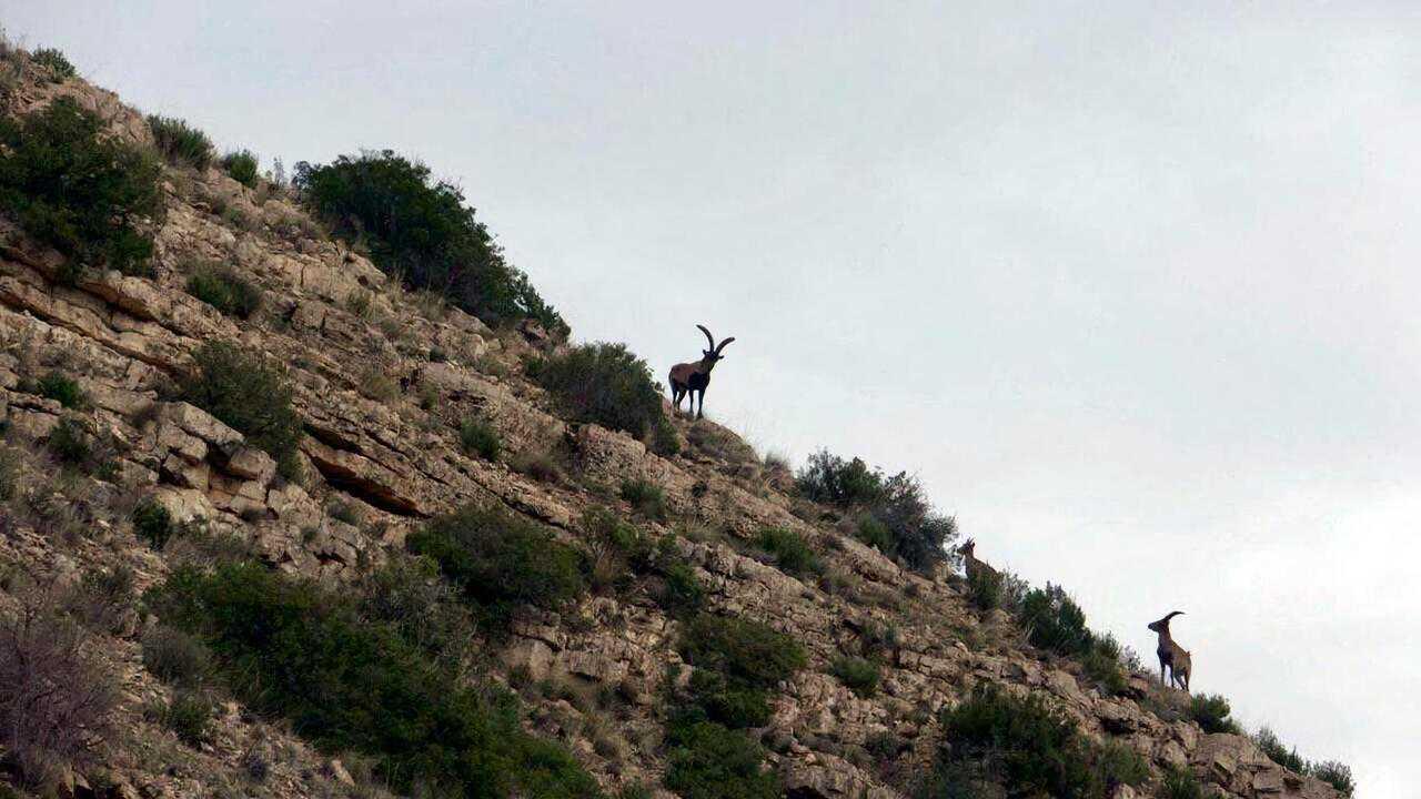 Sur Seasons dès 14h24 : Du boc majorquin aux ibex ibériques