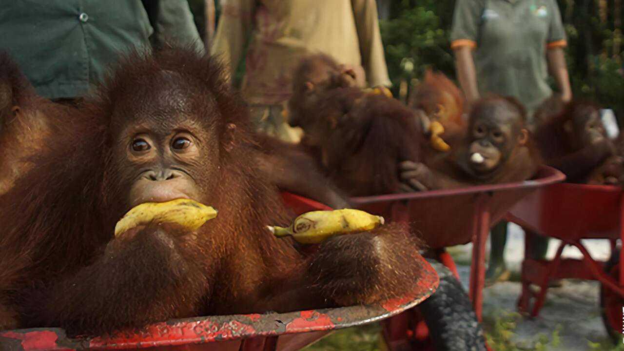 Sur Ushuaia TV dès 16h30 : L'école des orangs-outans