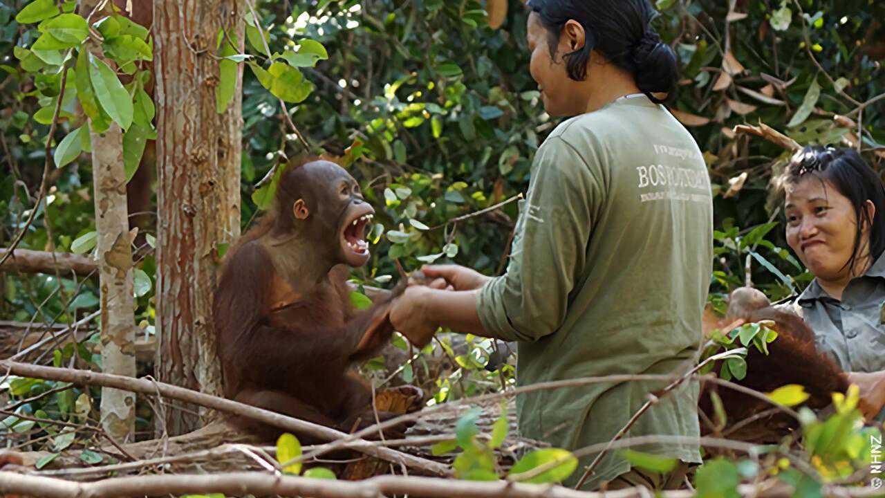 Sur Ushuaia TV dès 17h15 : L'école des orangs-outans