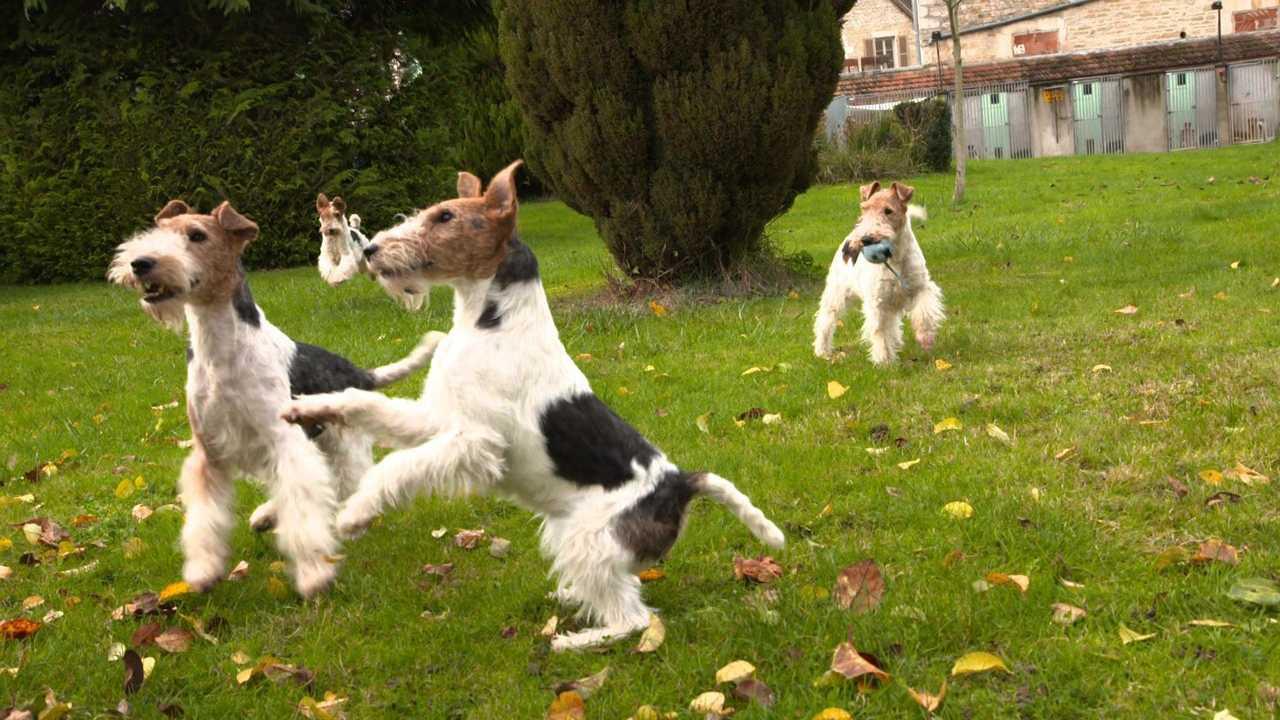 Sur Chasse et Peche dès 17h37 : Le fox-terrier : un chien à toute épreuve