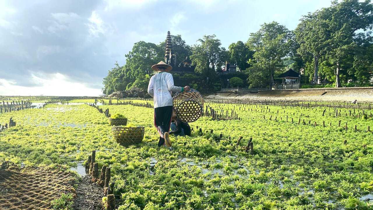 Sur Arte dès 16h55 : Indonésie, les cultivateurs de la mer